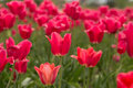 Bright Red Field of Tulips Holland Michigan Royalty Free Stock Photo