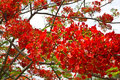 Bright red flowers flame tree are Stock Image