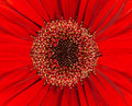 Bright Red Gerbera Flowerhead Closeup Stock Image