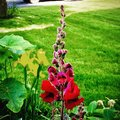 Bright Red Giant Snap Dragon