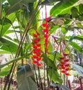 Bright red heliconia rostrata