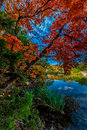 Bright red leaves of lost maples state park texas beautiful fall foliage with a crystal clear stream Stock Photography