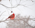 Bright red male Cardinalis cardinalis, Northern Ca Royalty Free Stock Photography