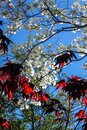 Bright red maple leaves in partial shadow against white dogwood blossoms and a bright blue sky Royalty Free Stock Photo