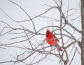 Bright red Northern Cardinal bird resting on a bra Stock Images