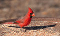 Bright red Northern Cardinal male eating seeds Stock Images