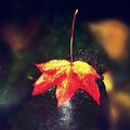 Bright red orange autumn maple leaf fallen in water. Royalty Free Stock Photo