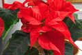 Bright red poinsettia. Traditional Christmas Flower. Royalty Free Stock Photo