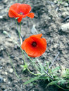 Bright red poppies growing within rough dry soil Stock Photo