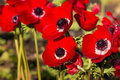 Bright red poppy anemone flowers in garden Royalty Free Stock Photo