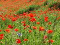 Bright red poppy field Royalty Free Stock Photo