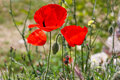 Bright red poppy flower with bud in field in nature in sunlight Royalty Free Stock Photo
