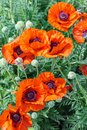 Bright red poppy flowers growing in the field Royalty Free Stock Photo