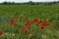 Bright red poppy or Papaver, camomile and blue weed wildflower in the wheat field near by Ostrovo village Royalty Free Stock Photo