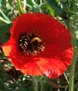 Bright red poppy in the sun Royalty Free Stock Photo