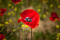Bright red poppy and wild fenel in the field. Royalty Free Stock Photo