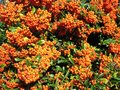 Bright red pyracantha (Pyracantha coccinea) Royalty Free Stock Photography