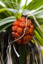 Bright red pine fruit