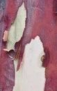 Bright Red Tree Bark: Peeling