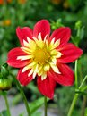Bright red and yellow anemone-flowering dahlia Royalty Free Stock Photo