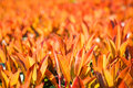 Bright red young leaves in spring photinia fraseri closeup Royalty Free Stock Images
