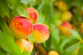 Bright ripe peaches adorned in tropical colors grow in a cluster on a peach tree Royalty Free Stock Photography