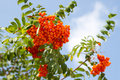 Bright rowan berries Stock Image
