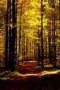 Bright shining sunbeams in beech forest in autumn intense Royalty Free Stock Image