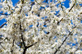 Bright spring blossoms on blue sky Royalty Free Stock Photos