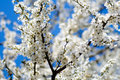 Bright spring blossoms on blue sky Royalty Free Stock Images
