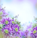 Bright spring chrysanthemum floral background Stock Photography