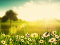 Bright summer afternoon natural backgrounds with beauty chamomile flowers Stock Image