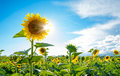 Bright sun shines through the petals of beautiful sunflower against a blue sky in field Stock Image