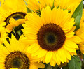 Bright sunflower blooms Stock Images