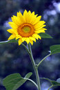 Bright sunflower on cool blurry background Royalty Free Stock Photo