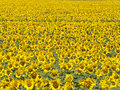 Bright Sunflower field background Stock Photography