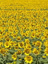 Bright Sunflower field background Stock Image