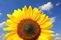 Bright sunflower head against blue sky with clouds Royalty Free Stock Image