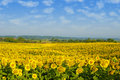 Bright sunflowers field Stock Photography