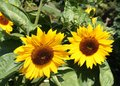 Bright sunflowers look good in sunny weather