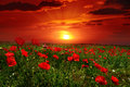 Bright sunrise in poppy field Royalty Free Stock Photo