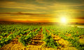 Bright sunset at vineyard Royalty Free Stock Photography