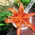 Bright Tigerlily Royalty Free Stock Photo