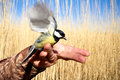 Bright titmouse in a hand against a reed wall Stock Photo