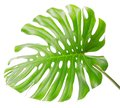 Bright tropical leaf close up with holes Royalty Free Stock Photo