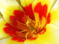 Bright tulip closeup look at a cheerful white with yellow and red streaks Stock Photography