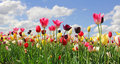Bright tulip field in miscellaneous kinds and colors blue sky with clouds Stock Image
