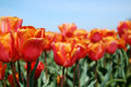 Bright Tulips and Blue Skies Royalty Free Stock Images