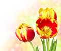 Bright tulips flowe Stock Photo