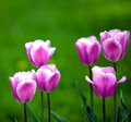 Bright tulips in the spring small depth of sharpness Royalty Free Stock Images